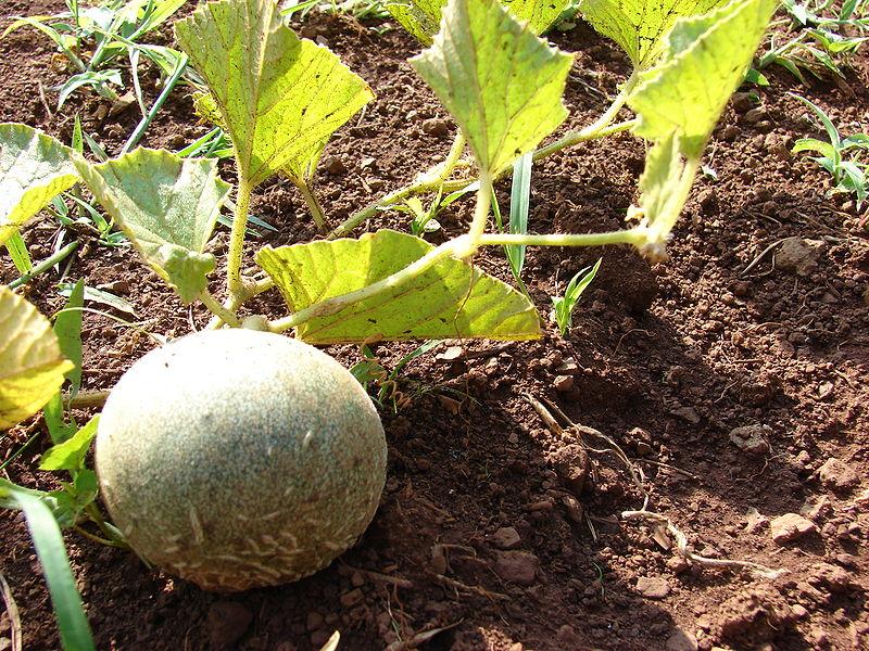 como-plantar-melones-y-ganar-dinero-con-ello