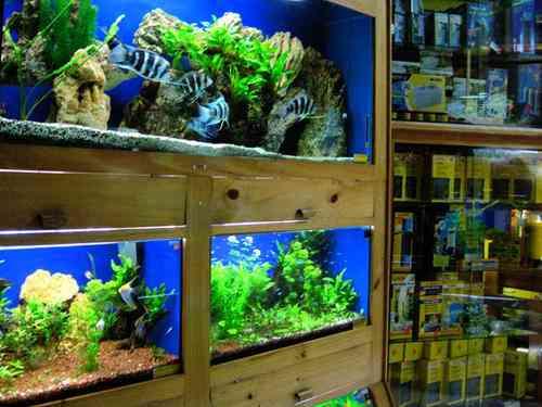 C mo montar una tienda de peces ornamentales for Acuarios ornamentales
