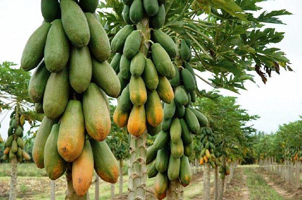 Ganar dinero con el cultivo de papaya