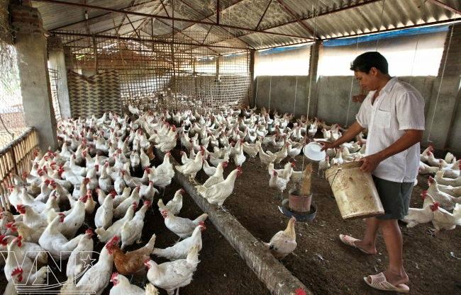 Cómo ganar dinero con la crianza de gallinas de corral