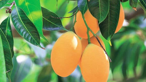 Cómo plantar mango: consejos de plantación, cultivo y comercialización
